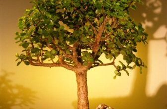 Bonsai Boy of New York | Baby Jade Bonsai Tree – Extra Large | The fleshy trunk, branches, and leaves are used to store water. An excellent bonsai tree for the home or office.