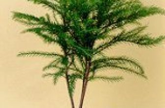 Bonsai Boy of New York | Norfolk Island Pine-Medium | Open and airy conifer (cone bearing) with light green foliage turning darker with age