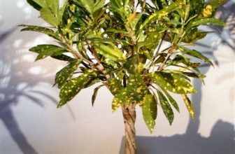 Bonsai Boy of New York | Croton Gold Dust Braided Twist Bonsai Tree | This impressive, trouble-free Gold flecked tree is native to South Florida and simply loves balance in everything